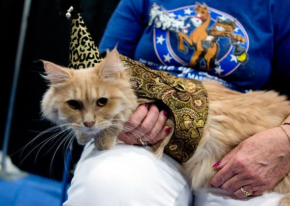 Meet the Breeds Siberian Cat