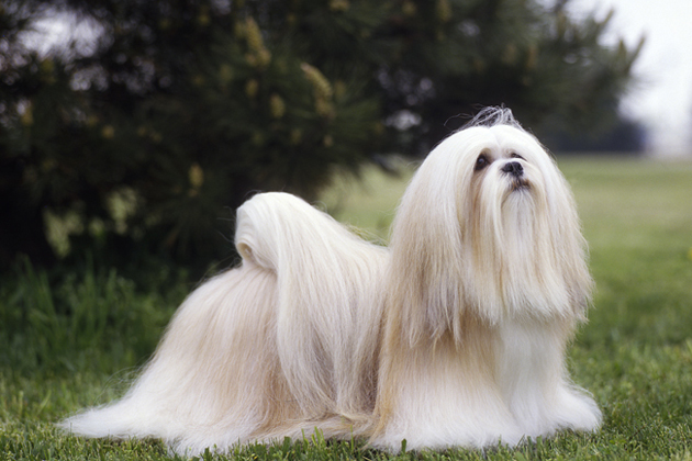 Lhasa Apso  As Active as His Family