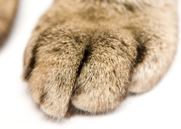 Cat paw closeup