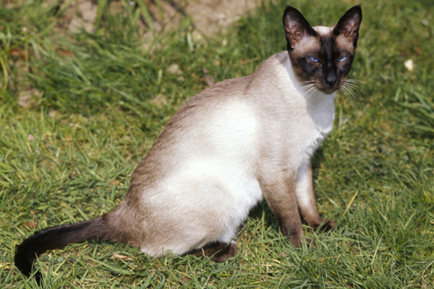 Siamese  Demanding But Devoted
