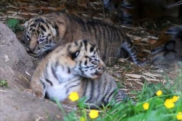 Chester Zoo Sumatran tiger cubs