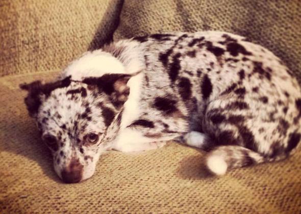 Merle Dog