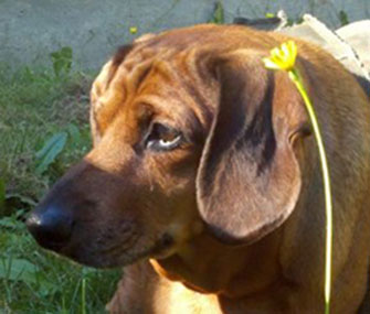 Obie, an obese Dachshund, is working to shed pounds in a new home.
