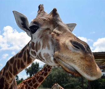 Giraffe at Giraffe Ranch