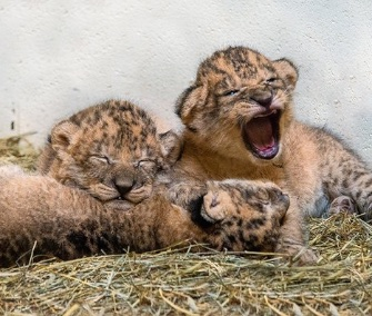 This adorable trio of lion cubs born at the Indianapolis Zoo will be named with the public's help.