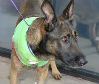K9 Thor suffered stabbing wounds in Louisiana when he saved a sheriff's deputy. He's expected to recover.