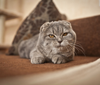 Scottish Fold cat wearing an expression that's hard to read.