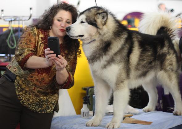 Alaskan Malamute takes a selfie