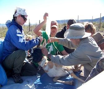 Sedated Pronghorn on way to helicopter