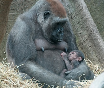 One of the Bronx Zoo's newborn western lowland gorillas cuddles with its mom.
