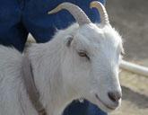 Pet goat Snowbird