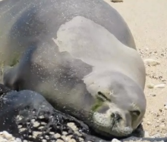 Officials saved Luana, a 1-year-old Hawaiian monk seal, after she was accidentally hooked by a fisherman.