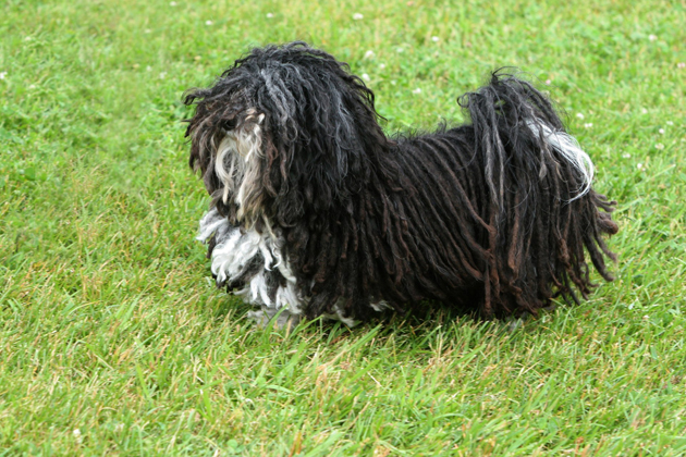 Havanese  Affectionate and Adaptable