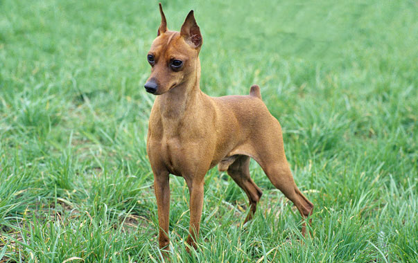 Mincher Pinscher Dogs For Sale