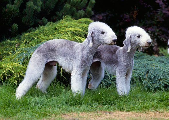 Bedlington Terrier dog breed