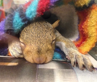This sleeping baby squirrel is one of 16 being rehabilitated at City Wildlife in Washington, D.C.
