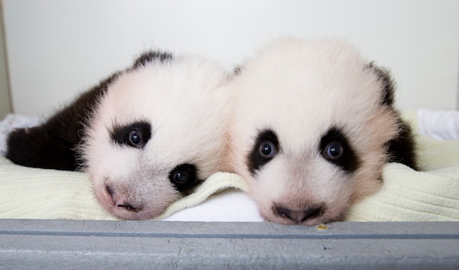 Zoo Atlanta's panda cubs will get their names at a ceremony on Wednesday.
