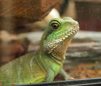 Lizard in Cage