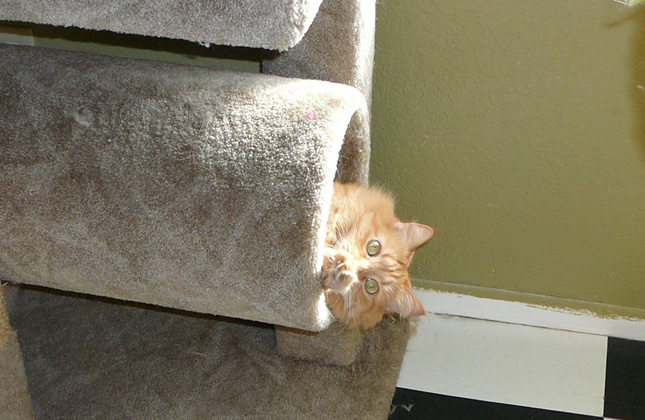 Hide and Seek Cat in Cat Tree