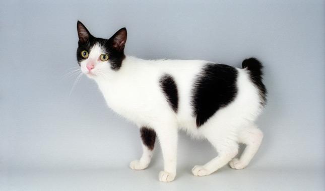 Japanese Bobtail Cat B...