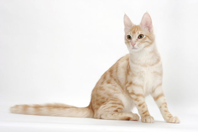 Turkish Angora Cat Breed