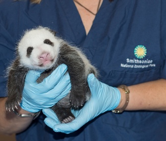 The National Zoo's panda cub is held by a staff member in September.