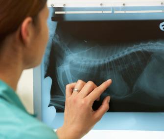 Vet examining radiograph