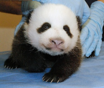 Mei Xiang's cub is now 5 pounds at 8 weeks old.