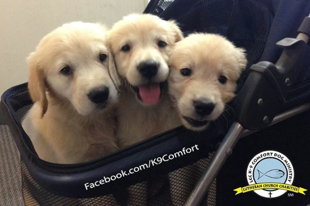 Golden Retriever puppies train to become comfort dogs