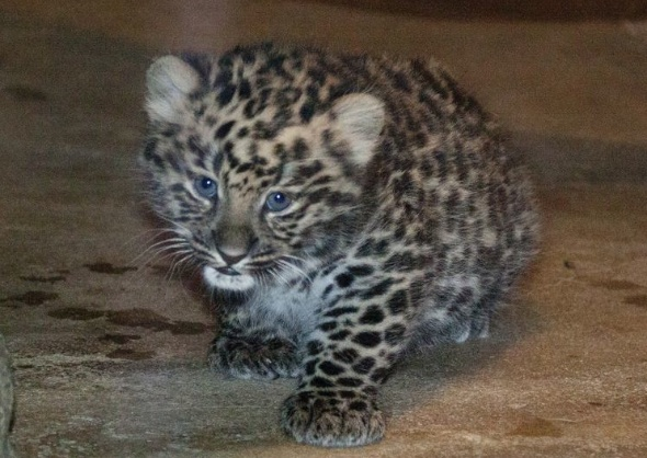 Denver Zoo Amur Leopard Cub Sochi