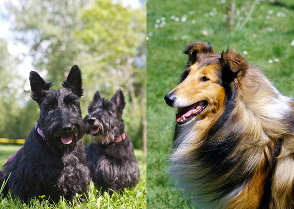Scottish Terrier and Collie split