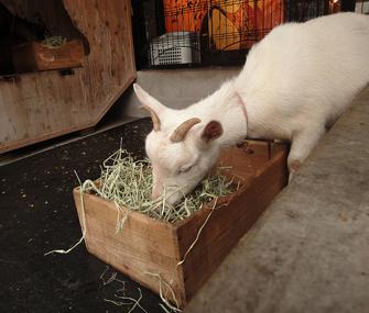 goat eating hay