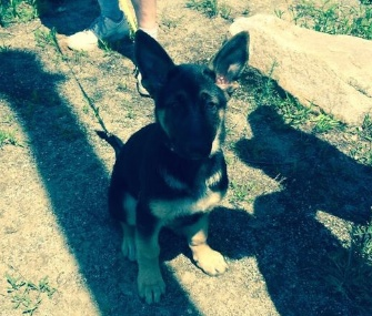 """She's a handful,"" says owner John Costello of his German Shepherd puppy, Rosie."