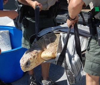 A rehabilitated loggerhead sea turtle was returned home Wednesday.