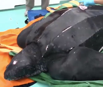 A 655-pound leatherback sea turtle was released in Massachusetts on Saturday.