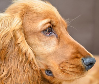 Cocker Spaniel eyes