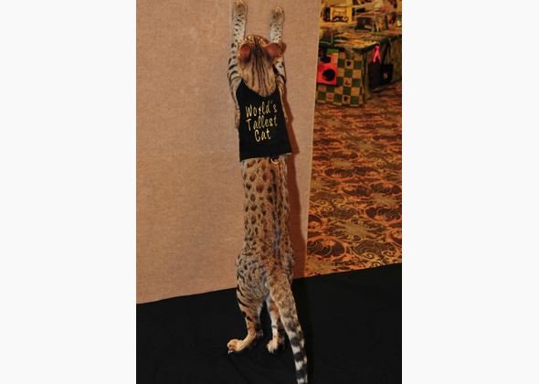 Trouble, The World's Tallest Cat