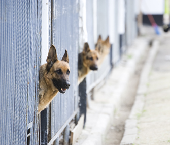 German shepherds in a kennel