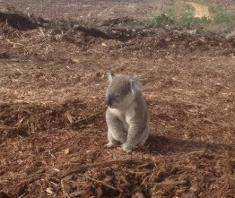 Authorities in Australia rescued this koala, who was confused when forest where he lived was cleared.