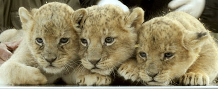 German lion cubs are named for Lion King characters