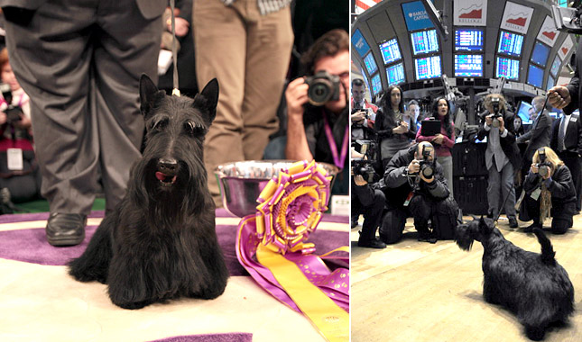 Sadie, the Westminster Best in Show winner 2010