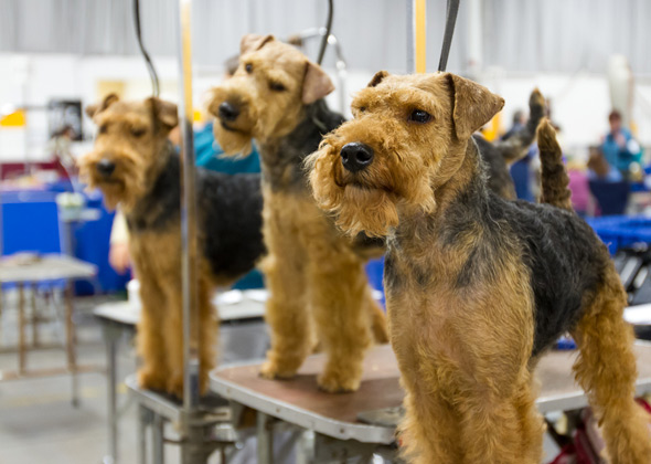 Welsh Terriers at National Dog Show