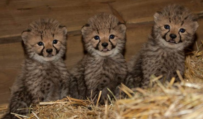 Cheetah triplets at Burgers' Zoo 645
