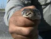 Python in Everglades