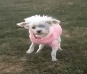 Lizzy, who spent her life in a puppy mill, walks on grass for the first time.