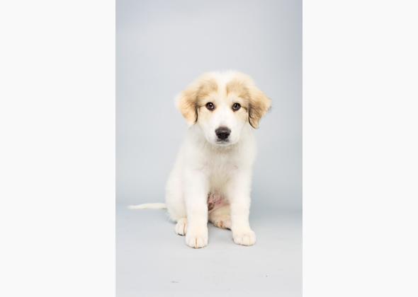 Hudson, Great Pyrenees, Animal Planet Puppy Bowl X