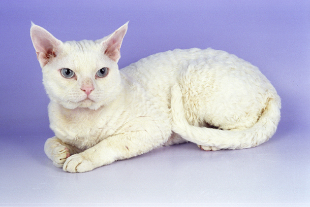Devon Rex — Adorably Impish