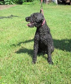 Molly the Kerry Blue Terrier