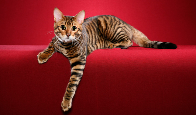 Breed Of Cat That Looks Like A Tiger