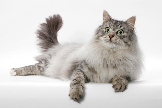 norwegian forest cat2